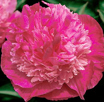 Лилейник Siloam Olin Frazier Растения вашего сада
